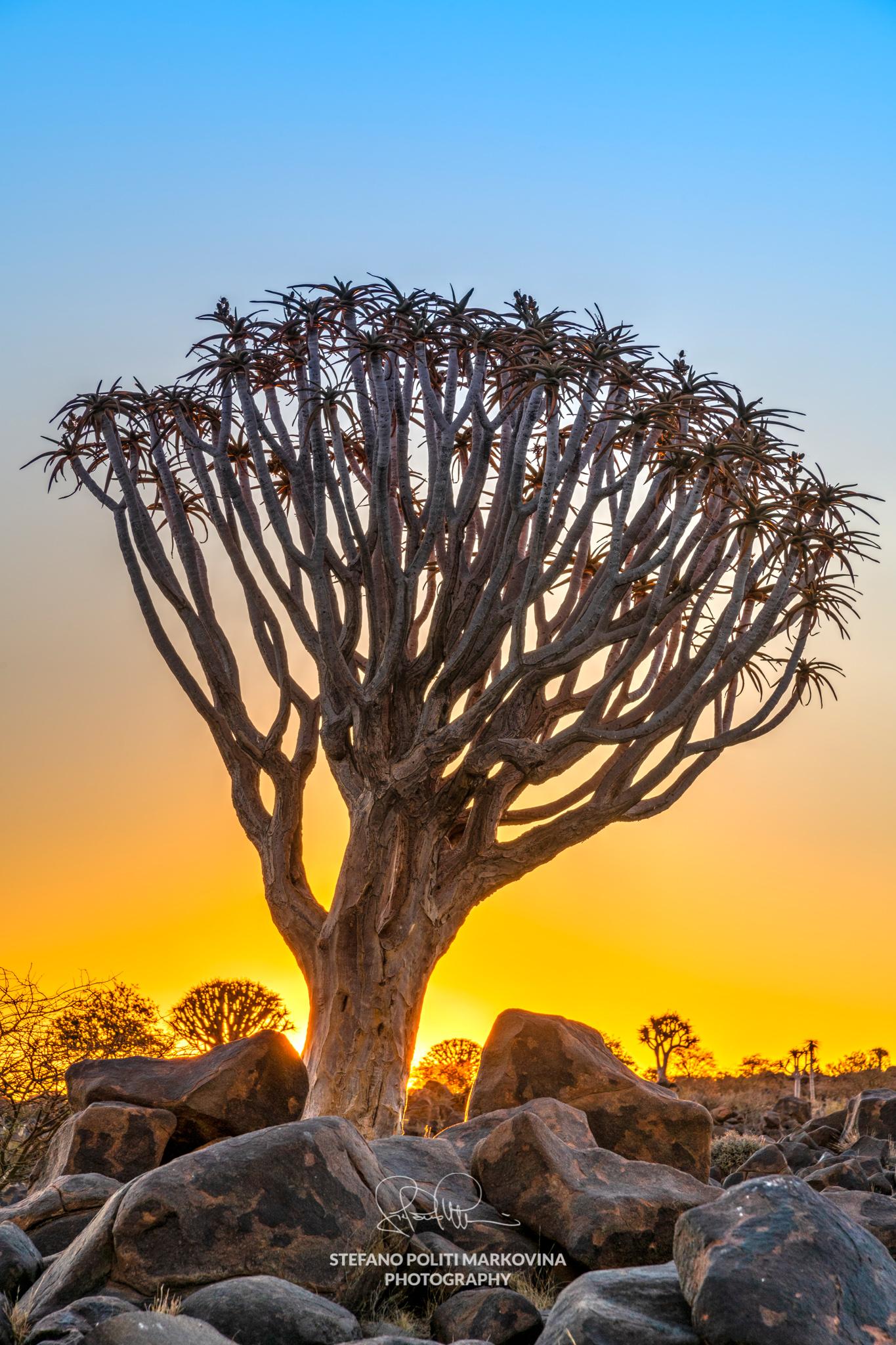 Quiver Tree, Keetmanshoop, Karas, Namibia
