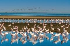 Lesser flamingos or Phoenicoparrus minor, Walvis Bay, Erongo, Namibia