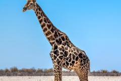 Giraffe, Etosha National Park, Kunene, Namibia