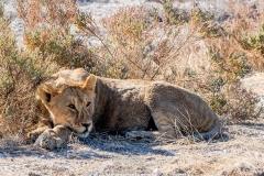 Female lion, Etosha national park, Namibia