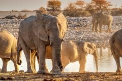 African bush elephants, Etosha National Park, Kunene, Namibia