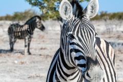 Zebra, Etosha National Park, Kunene, Namibia